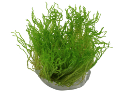 TROPICA TAXIPHYLLUM FLAME