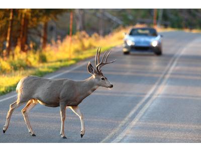 Rådyrs Alarm / Deer Whistle